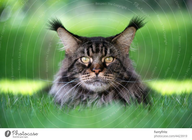 black tabby maine coon cat resting on green grass portrait purebred cat pets longhair cat fluffy fur feline tassel ear tip ear tuft whisker outdoors