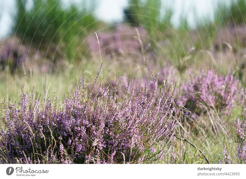 Heather plants in a blooming heath, Calluna vulgaris in the light of the sun, Ericaceae Shallow depth of field Copy Space right Deserted
