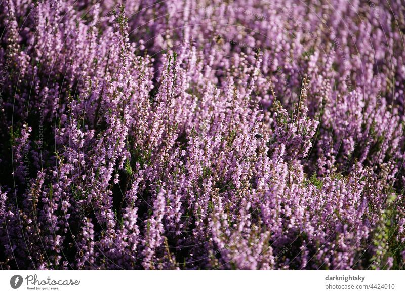 Heather plants in a blooming heath, Calluna vulgaris in the light of the sun Shallow depth of field Copy Space right Deserted Macro (Extreme close-up)
