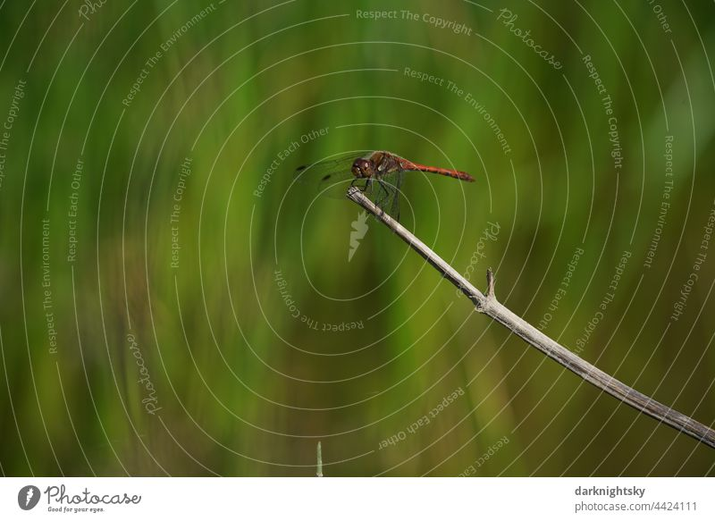 A Common Darter sits on a dry stalk of a plant and observes its territory. Insect, Sympetrum striolatum Orange red Sympetrum dragonfly Nature Environment Green