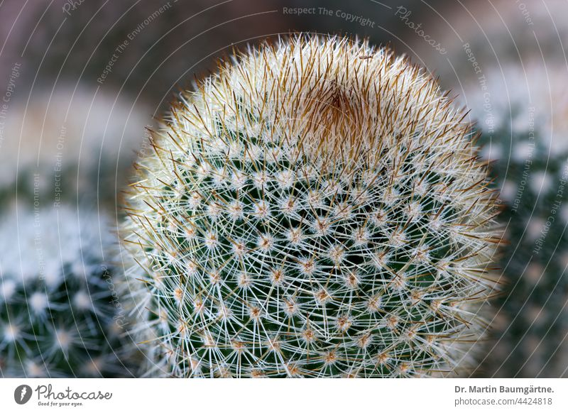 Cactus: Mammillaria sp. from Mexico mammillaria thorny Plant succulent water storing keeping small cactaceae
