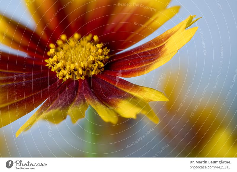 Inflorescence of Coreopsis Up Tick variety Up tick inflorescence shrub Flower Plant summer bloomers hardy Red Yellow composite asteraceae Compositae