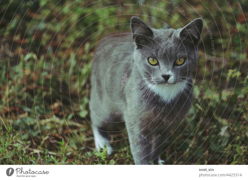 A silver gray-blue cat with yellow eyes and a white tie is standing on the green grass and looking into the camera. portrait outdoors summer animal adorable