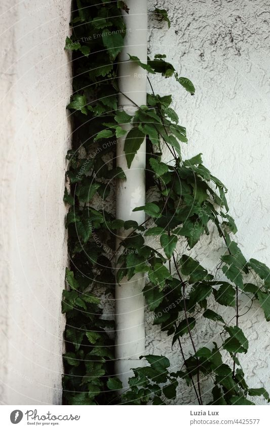 Self-climbing maidenhair vine, still summer green against a white plaster wall, clings to a white rain gutter Wall (building) wall plaster Rain gutter White
