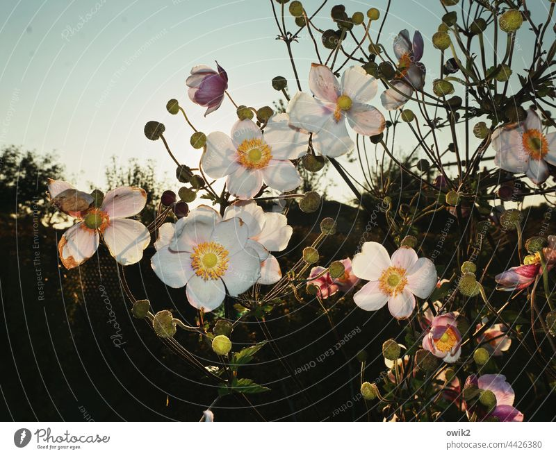 in full bloom Chinese Anemone petals Pistil Stalk Ambitious Harmonious Leaf Back-light Brilliant detail Detail Idyll Close-up Sunbeam Landscape Environment