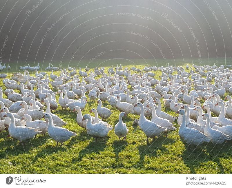 free-range geese Goose Free-range rearing Environment Animal Bird Nature Exterior shot Colour photo Freedom Group of animals Wild animal Deserted Flying birds