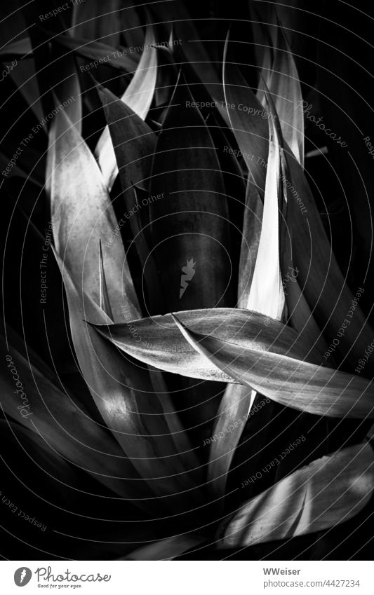 Abstract black and white photograph of the long leaves of a large aloe Aloe Plant Dark Light light spots structure naturally Leaf botanical Botany flora Nature