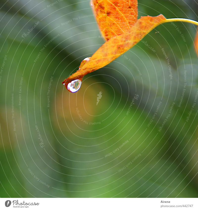 How much longer... Nature Plant Drops of water Autumn Rain Leaf Autumn leaves Water Sign To fall Fluid Wet Natural Brown Gold Green Red Grief Transience Change