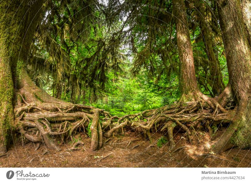 Intertwined roots of two old trees in the Hoh rainforest intertwined environment growth mosses hoh north america hall of mosses renewal washington state