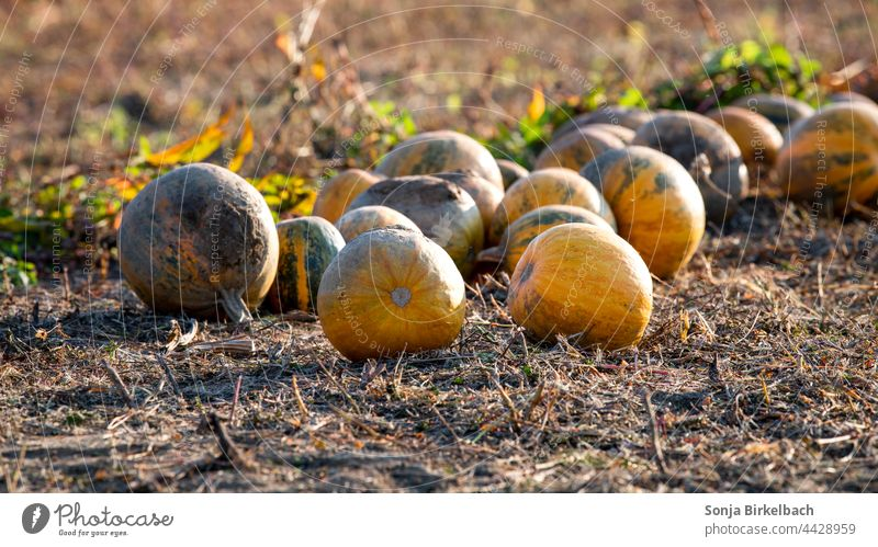 Autumn time - pumpkins in the evening sun on a field are ready for harvest - Halloween decoration Pumpkin Core oil Hallowe'en Autumnal Agriculture Crops