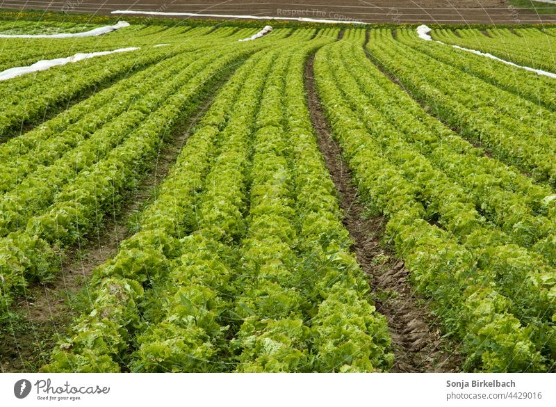 Lettuce, lettuce and more lettuce Field acre Agriculture agrarian vegetable gardening Agricultural crop Harvest Food Exterior shot Summer Nature Plant Growth