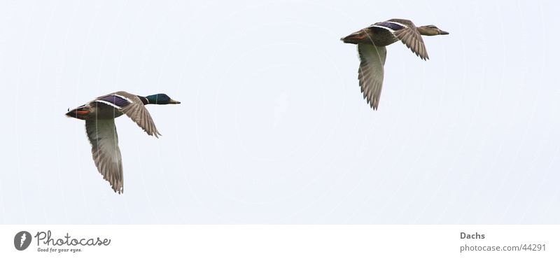 Hey you wait for me Mallard flight photo Aviation Sky Movement Duck