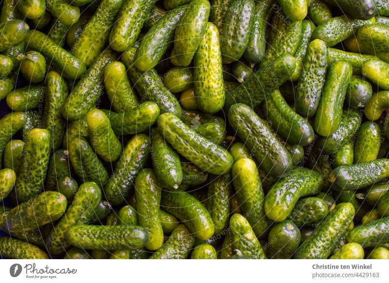 Pickled cucumbers, freshly washed and shiny, ready for pickling gherkins Cucumbers Food Vegetable Nutrition cure Green boil down Fresh Vegetarian diet