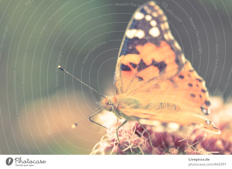 butterfly Animal Wild animal Butterfly Eating Sit Thin Elegant Beautiful Small Natural Soft Orange Colour photo Subdued colour Exterior shot Close-up Detail
