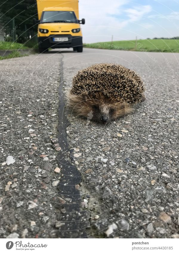 man against nature. a dead, run over, hedgehog lies on the street in the background a postbus Hedgehog Wild animal run sb./sth. over Mail Mail van