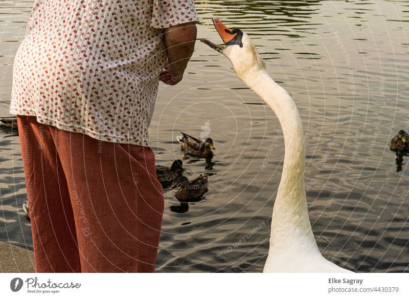 Begging swan at the water Swan Animal Exterior shot Day Nature Colour photo Water White