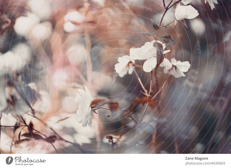 Abstract, vintage floral motive with white roses and bokeh abstract mystical romantic flowers moody atmosphere fall mood
