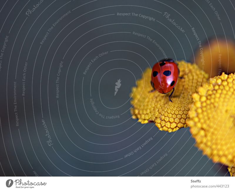 symbol of luck Valentine's Day Nature Summer Beetle Ladybird Insect Leg of a beetle Good luck charm Crawl Happy Yellow Joie de vivre (Vitality) Summer feeling