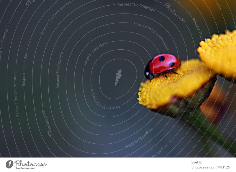 lucky beetle Valentine's Day Nature Plant Summer Flower Beetle Ladybird Leg of a beetle Crawl Happy Natural Beautiful Yellow Red Joie de vivre (Vitality) Desire