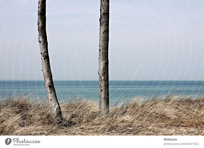 Two trees on the beach in a long-standing dialogue; the two probably disagree on something coast Baltic Sea tribes Grass Ocean Water Vantage point in twos