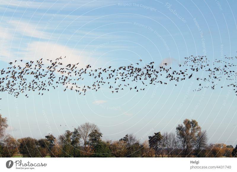 Bird migration - vast numbers of wild geese fly across the moor Goose Wild goose Gray lag goose bird migration Migratory bird Many quantity Sky Clouds Tree