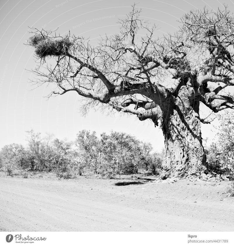 in south africa   street and baobab madagascar african landscape big nature morondava huge vegetation flora plant avenue travel old forest tropical large dry