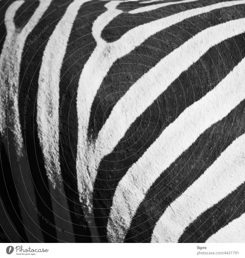 wild zebra skin abstract background animal pattern texture print white black fur nature wildlife africa safari stripes african design striped detail hair zoo