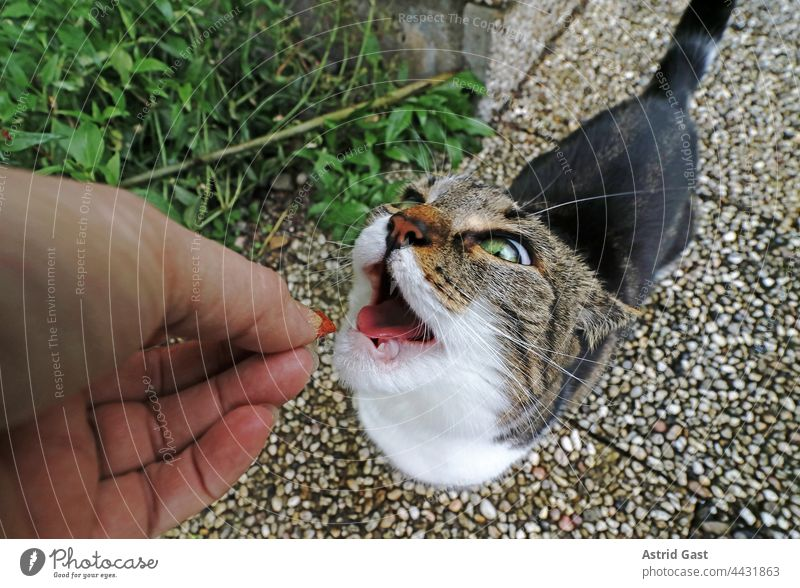 Funny cat photo of a little cat waiting with open mouth for the food held out to her Cat Feeding Mouth open wittily feeding yummy Hand Woman kitten Small