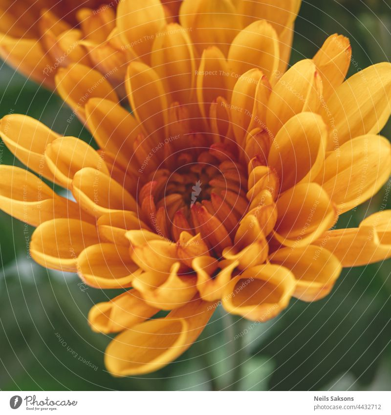 great macro picture of nice orange chrysanthemum on a blurry background close-up. Detailed yellow flower petals in natural light from window cream decoration