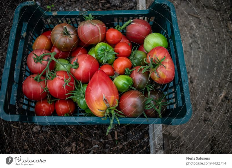 fresh ripe and unripe green and red  big and cherry tomatoes from personal greenhouse. Crop is harvested and collected in plastic box. Healthy vegetables without chemical add. Organic food