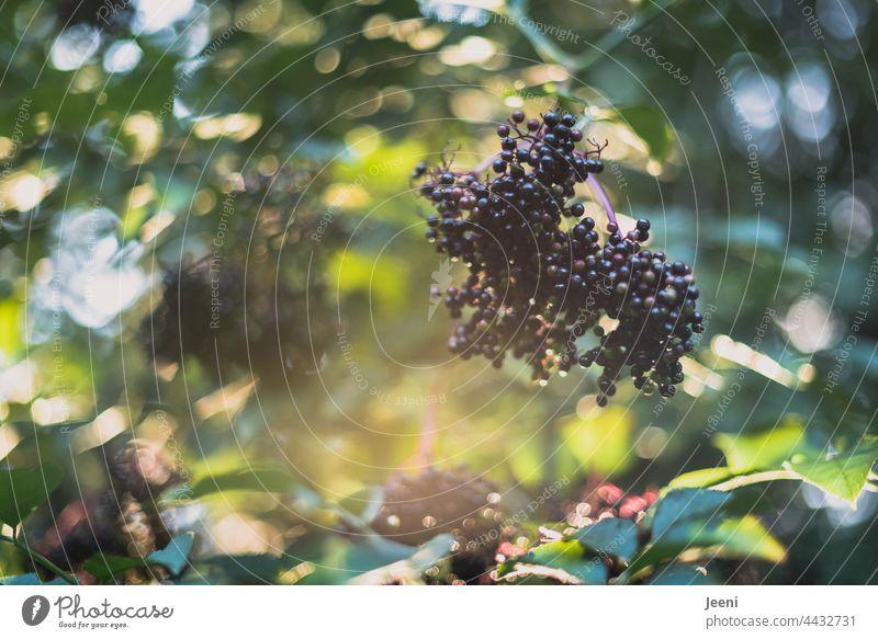 Elderberries in the garden Elderberry elder Elder leaf Elder juice lilac berries Plant Nature Green Fruit naturally natural light Berries Bushes Summer Autumn