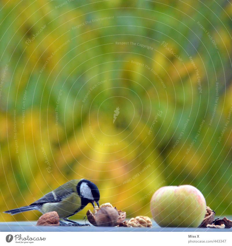 Animal Eating Garden Bird Fruit Wild animal Appetite Apple Delicious To feed Nut Walnut Purloin Birdseed Tit mouse