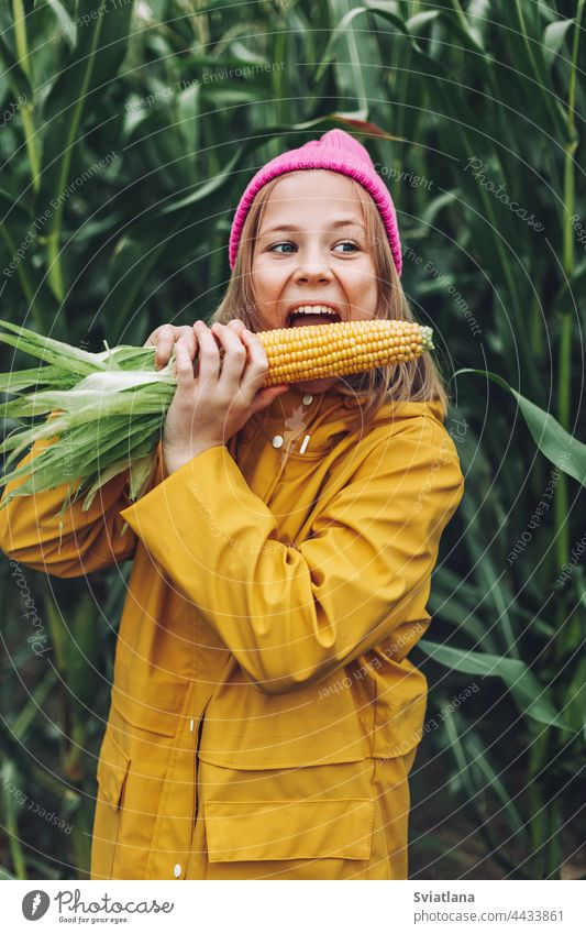 Funny little girl dressed in a yellow raincoat and a hot pink cap spoils and bites corn in a cornfield autumn child cloak laugh lifestyle play cute rural plant