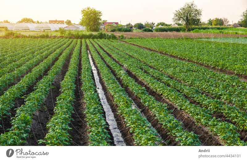 Water flows through the potato plantation. Watering and care of the crop. Surface irrigation of crops. European farming. Agriculture. Agronomy. Providing farms and agro-industry with water resources.