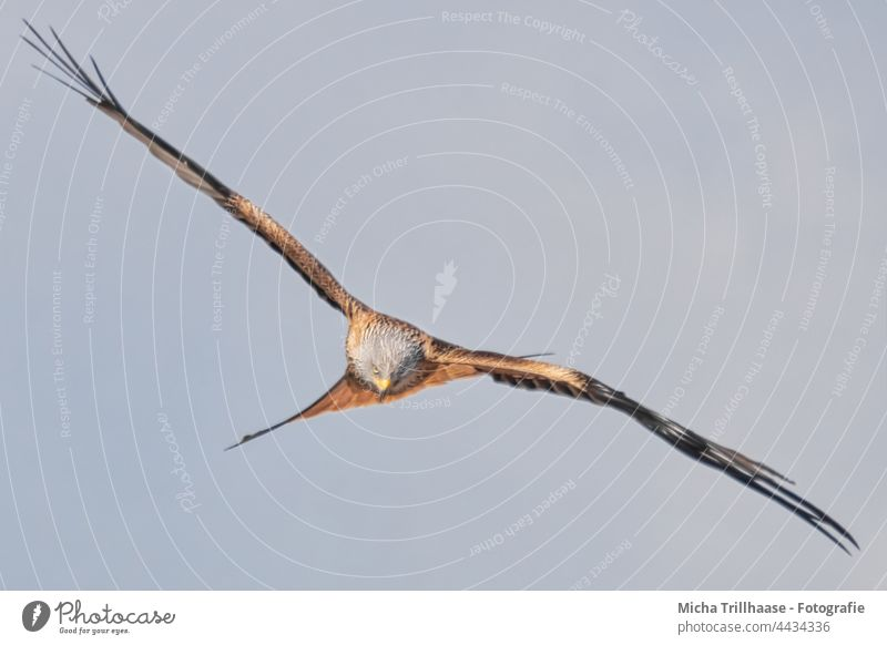 Flying red kite in search of prey Red Kite Red kite milvus milvus Bird in flight Bird of prey Head Beak Eyes Grand piano Wing span feathers plumage flapping Sky