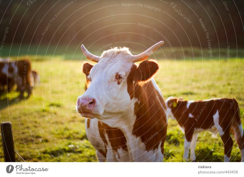 big mama watching you Animal Farm animal Cow Observe Looking Wait Esthetic Natural Brown Gold Green Responsibility Attentive Watchfulness Colour photo