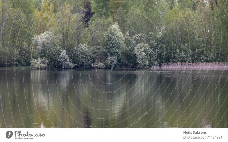 spring forest reflection in calm pond or lake water, april evening beautiful dim pale light, blooming white bird cherry trees background beauty black blue