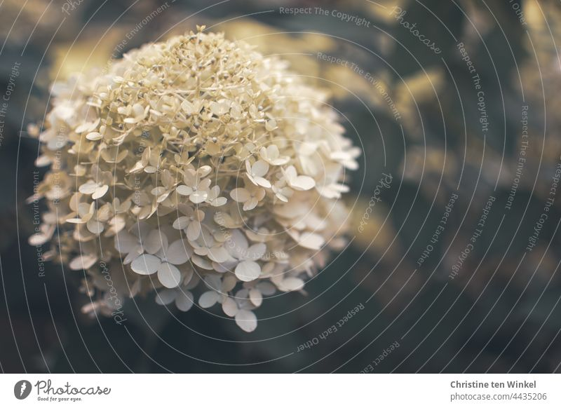 White flower of a panicle hydrangea / Hydrangea paniculata Hydrangea blossom Panicle Hydrangea Blossom Hydrangea paniculata limelight blurriness Garden