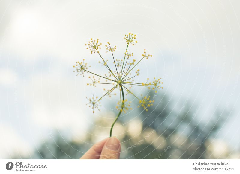 A delicate yellow dill flower, held up by a hand, in the background a tree and bright sky Dill Dill blossom dill umbels Yellow Hand To hold on Garden