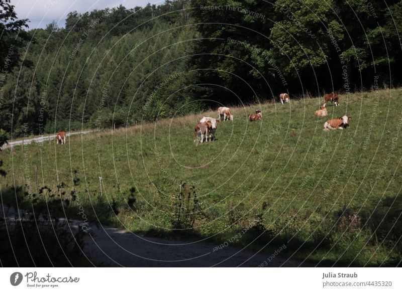 Cows grazing at the edge of the forest Forest Clearing Meadow Willow tree cows Cows in the pasture Sit Lie Stand To feed Ruminant chill relax relaxed Rhön