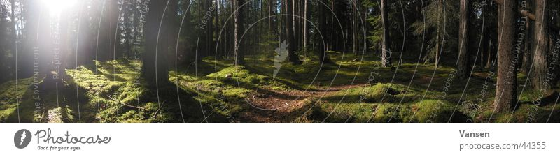 deep in the woods Forest Light Tree Panorama (View) Shadow Sun Sweden Large Panorama (Format)