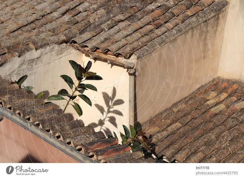 small roof terrace with rubber trees in Mallorca vacation Majorca view from above Terrace roofs Height difference walls brick Lichen Gutters Rustic Sun Light