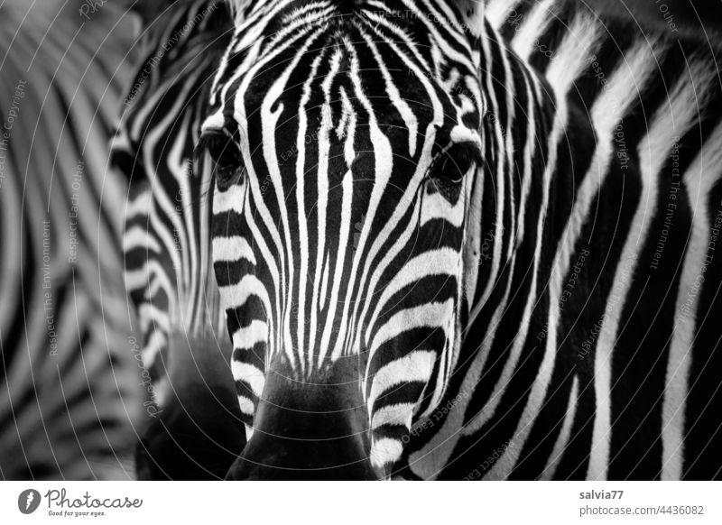 Zebra Look Zebra crossing Animal Wild animal Zebra Kook Looking Animal portrait Stripe Zoo Pattern Black & white photo Africa Striped Pelt Mammal Deserted