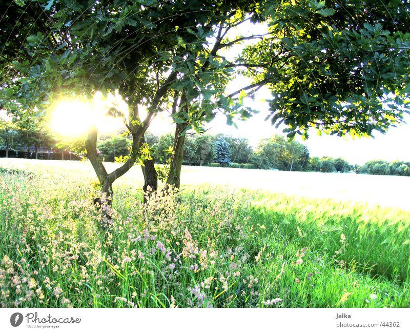 naturo puro Sun Tree Grass Esthetic Optimism Hope Tree trunk Cornfield Wheatfield Twig Branch Colour photo Sunbeam Back-light