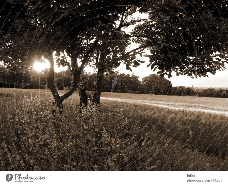 nature! Sun Tree Grass Anticipation Tree trunk Cornfield Wheatfield Twig Branch Sunbeam Back-light