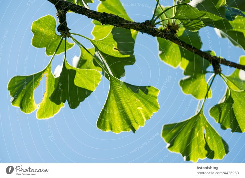 Ginkgo leaves gingko foliage Tree Sky Twig Nature Green Blue Shadow Light detail Branch Leaf Coniferous trees Needle Colour Guide Fine Weather clear Plant Day
