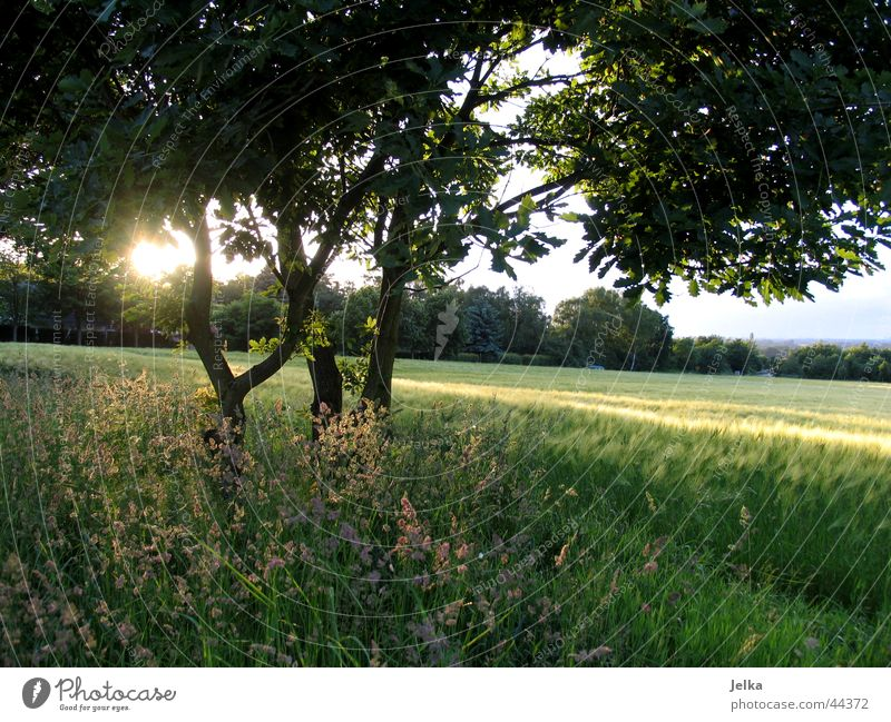 sunshine Sun Landscape Tree Grass Leaf Field Bright Cornfield Tree trunk Barley Barleyfield Grain Branch Twig pure nature Sunbeam Back-light