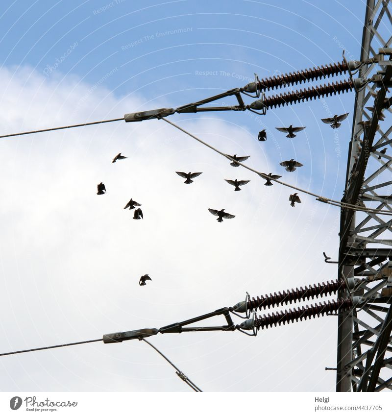 Dance of starlings - starlings flying next to a power pole in front of blue sky with clouds Bird bird migration Migratory bird Starling Many Flying