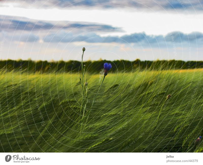 A little flower stands in the field... Landscape Field Forest Hope Horizon Cornflower Cornfield Barley Barleyfield Grain Colour photo