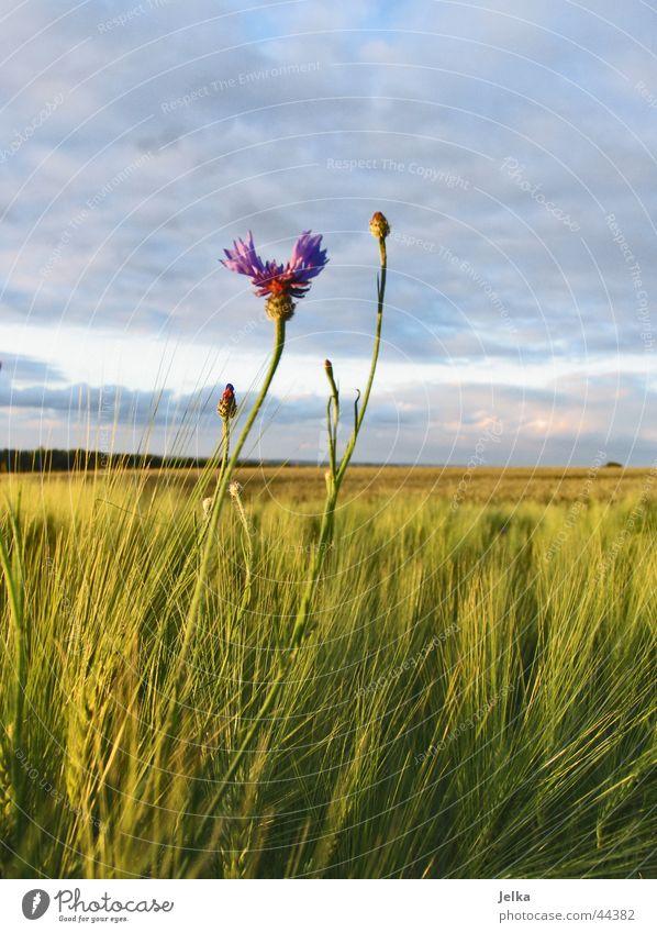 Loneliness Flower Field Grain Cornfield Barley Cornflower Barleyfield